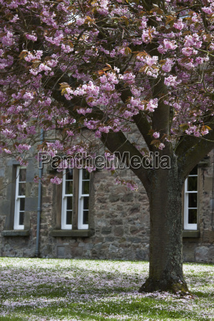 a blossoming tree outside a building
