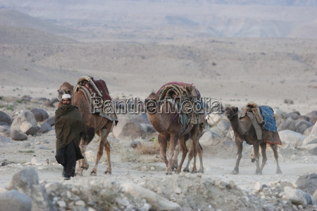 kuchi nomad walks with his camels
