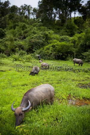 water buffalo bubalus bubalis in a