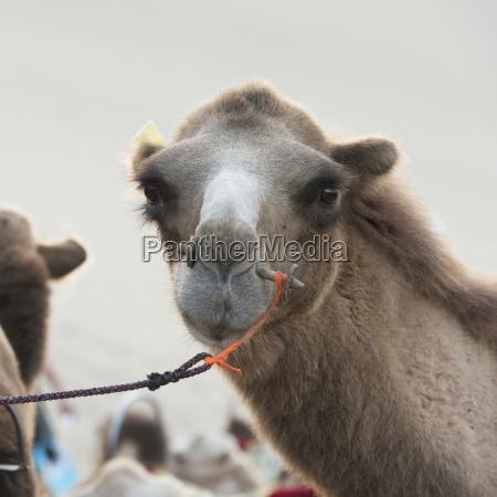 ein kamel mit einem peg through
