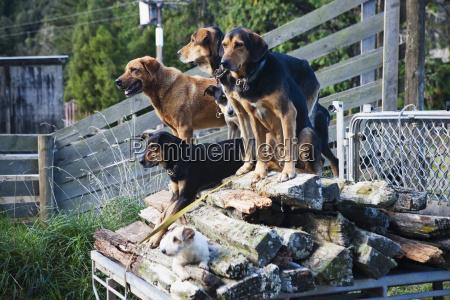 gut ausgebildete schafhunde erwarten instruktionen fuer