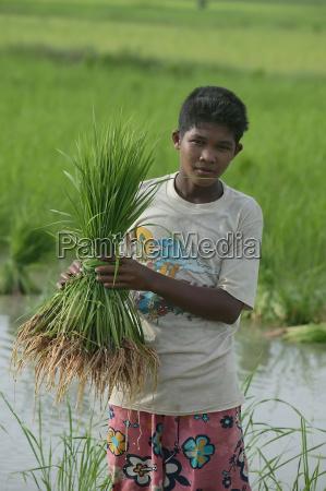 ein junge der paddy reis trieb