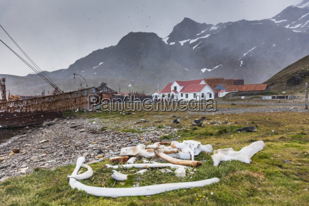 whale bones at grytviken a historic