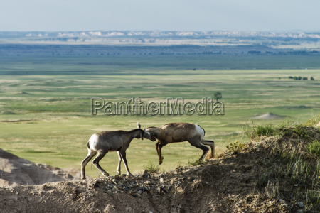 bighorn sheep ovis canadensis fighting on