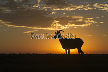 silhouette of a bighorn sheep ovis