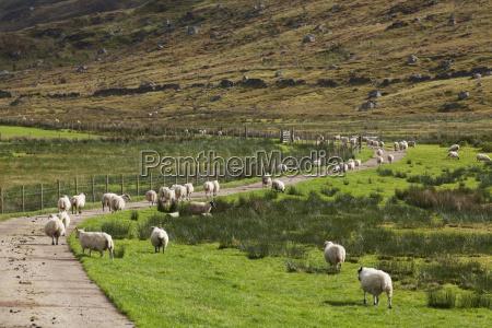 sheep near strontian at loch sunart