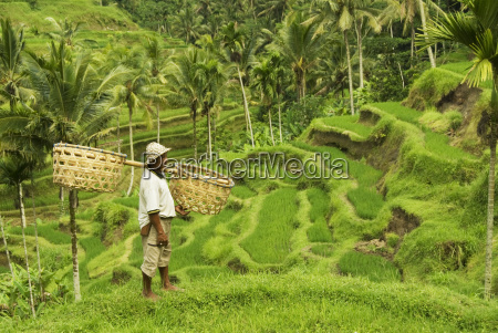 indonesia bali rice paddies worker carrying