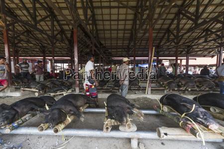 schweine am bolu livestock markt rantepao