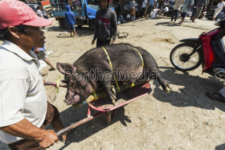 man carrying a pig tied to