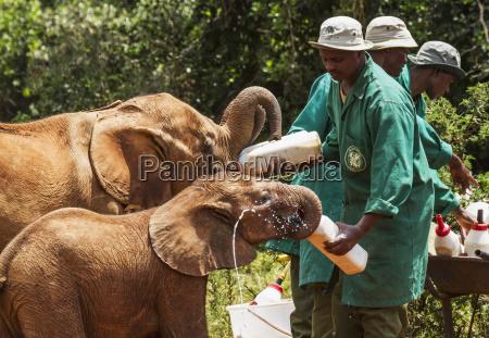 arbeiter bottle feeding an orphaned african