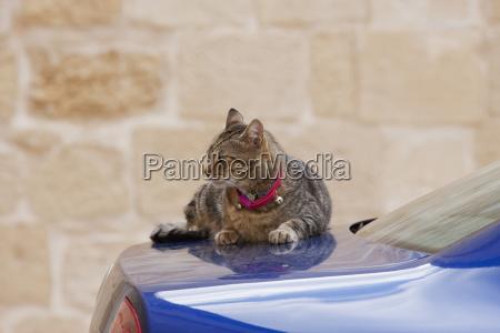 cat sunbathing on a car mdina