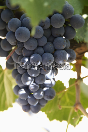 malbec grapes on the vine in