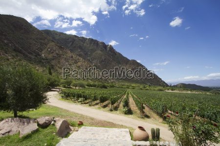 vineyard of finca las nubes winery