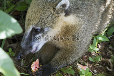 south american coati or ring tailed