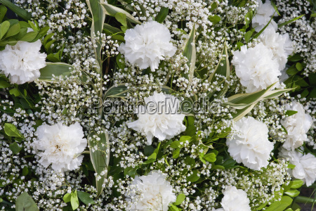 white carnations for sale cuenca azuay