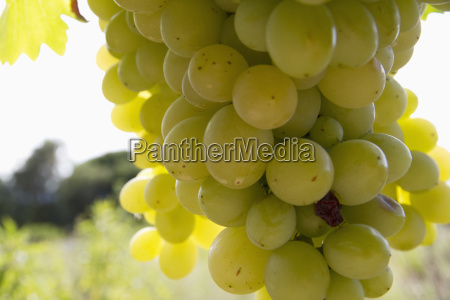 chardonnay grapes on the vine in