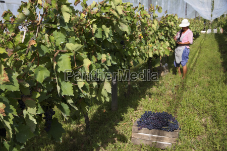 woman harvesting cabernet sauvignon grapes in