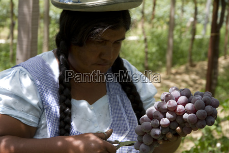chapaca harvesting grapes in a vineyard