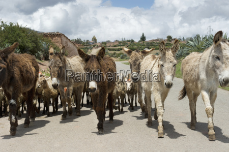 a herd of donkeys walking up