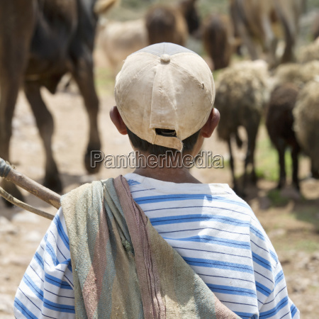 a boy watching cattle sacred valley