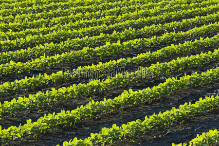 a field of young soybean plants