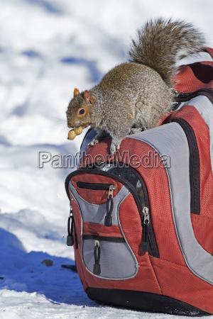 eastern grey squirrel sciurus carolinensis looking