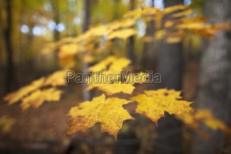 maple leaves in autumn brampton ontario