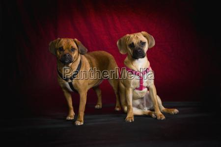 pug beagle dogs on red studio