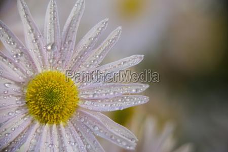 korean chrysanthemum asteraceae new york botanical