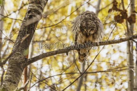 barred owl strix varia on aspen