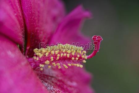 rose mallow hibiscus sweet caroline malvaceae