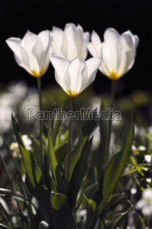 backlit tulips liliaceae new york botanical