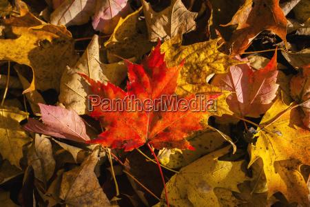 red maple leaf on leaf background