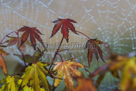 japanese maple leaves take on autumn