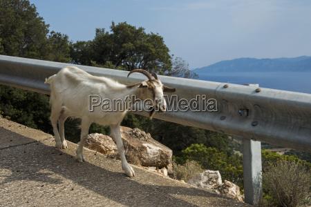 goat walking beside a guardrail on