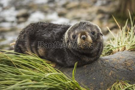 cute antarctic fur seal pup arctocephalus