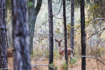 white tailed buck odocoileus virginianus watching