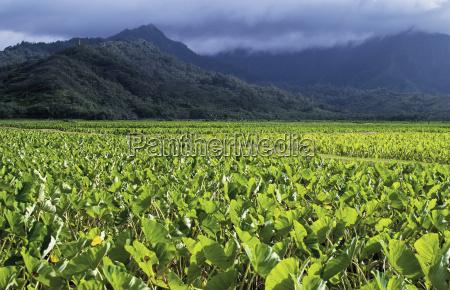 lush green taro plants in a