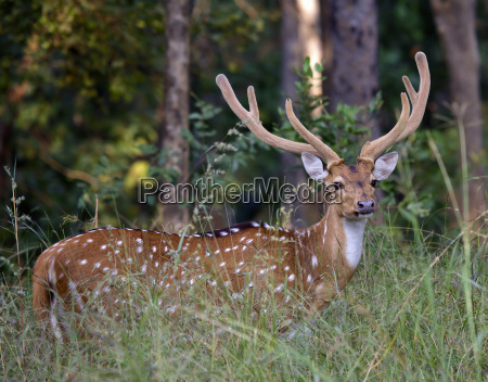chital spotted deer with antlers in