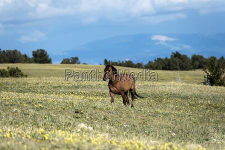 wild horse pryor mountains wild horse