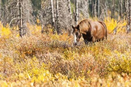 wild horse grazing the shrubs in