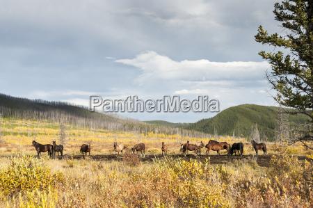 herd of wild horses sundre alberta