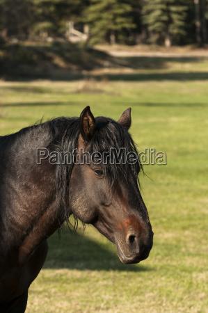 wild stallion sundre alberta canada