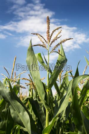 close up of a corn plant