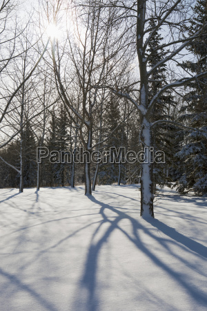 silhouette of a snow covered forest