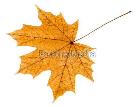 back side of yellow autumn leaf
