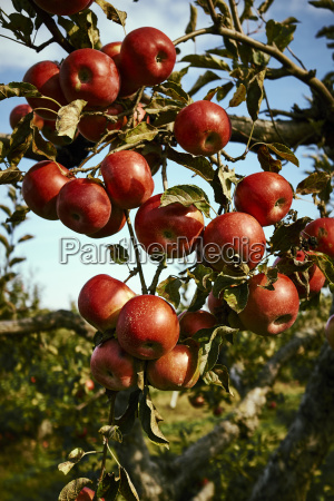 ripe red apples on an apple