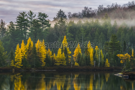 golden tamaracks along the shoreline of