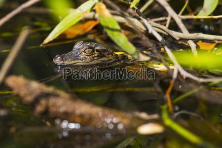 ein wildes american alligator alligator mississippiensis