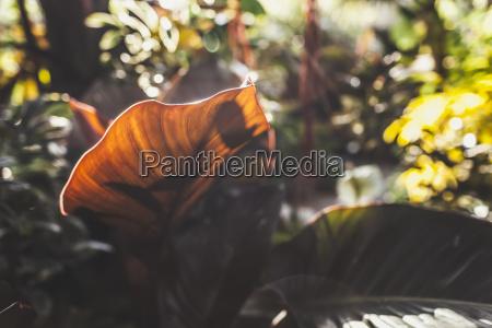 broad leaf of a plant backlit